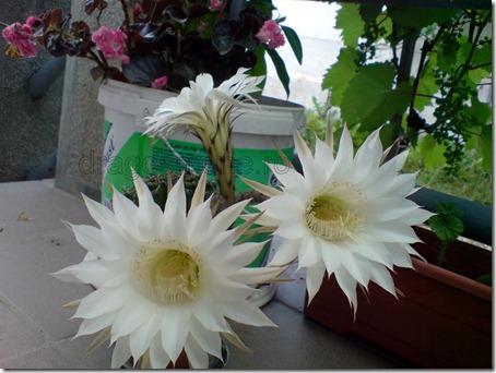 flori de cactus albe
