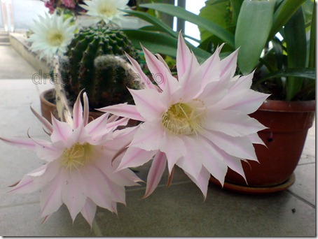 flori de cactus roz