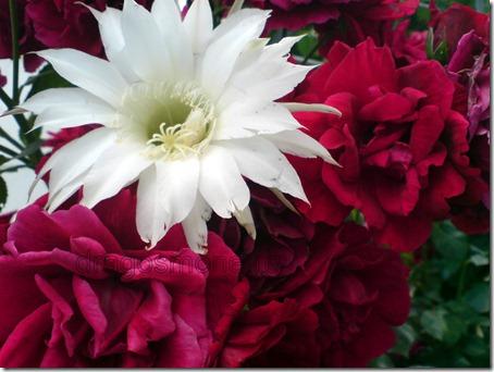 flori de cactus si trandafiri