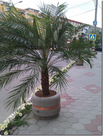 palmier campia turzii 1