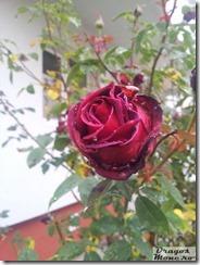 trandafir ud